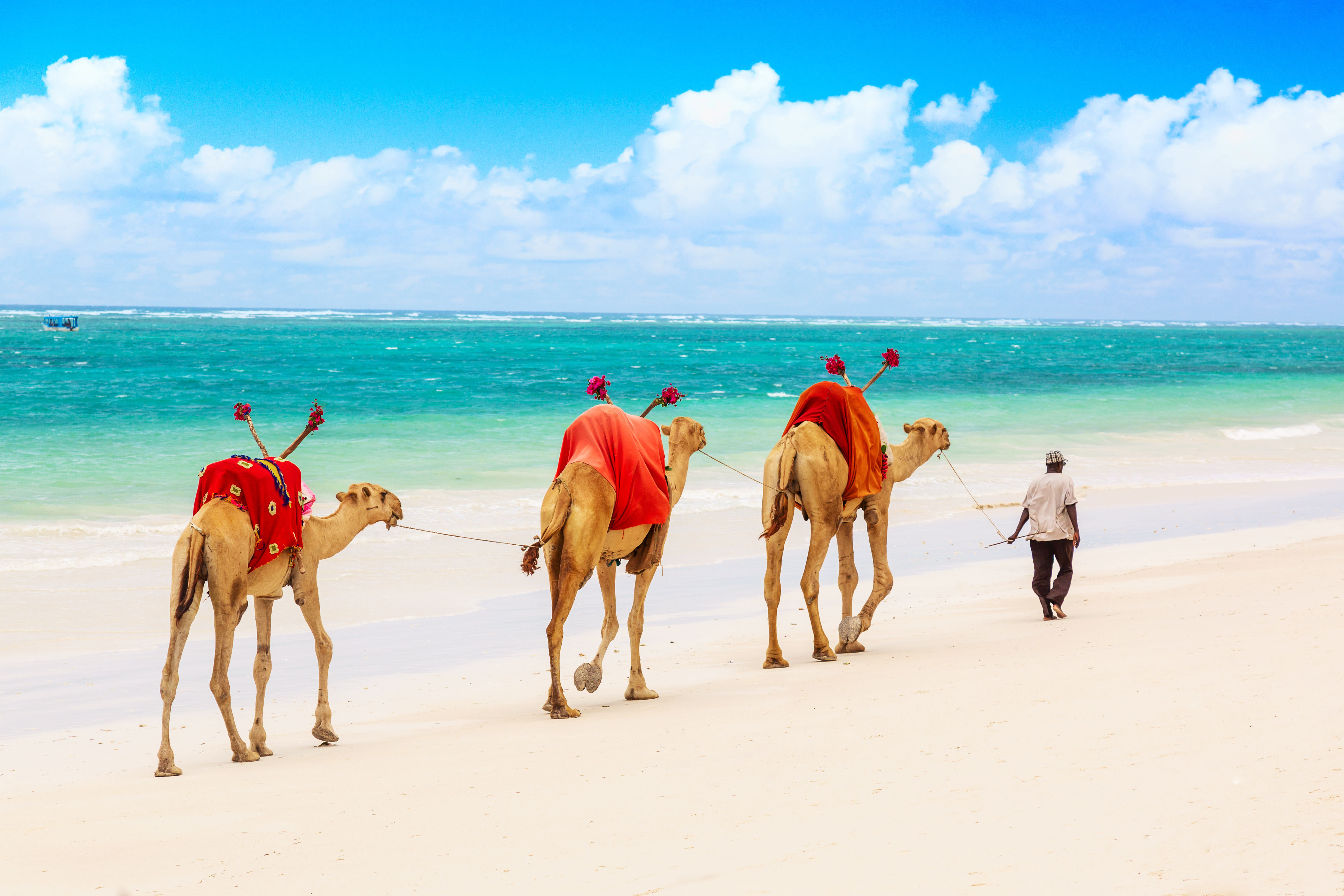 Camels on African Indian Ocean white sand beach with clear blue waters.