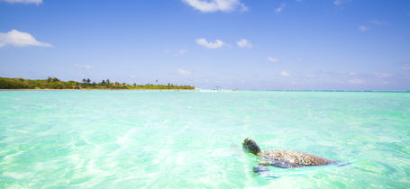 Green turtle swimming in turquoise tropical caribbean waters in Playa Del Carmen, Mexico.