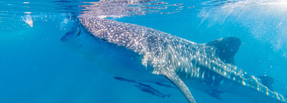 Whale shark swimming near the surface, filter feeding with remoras in Luzon, Philippines.